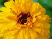 Marigold Yellow, Flower Petals At The Base Of Dark-yellow At The Edges Light-yellow. Closeup Photo G poster