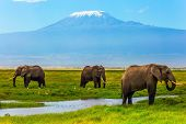 Safari - tour to the famous Amboseli Reserve, Kenya. Wild animals in natural habitat. African elepha poster