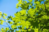 Branch Of Young Solar Green Leaves On A Background Of Foliage And Blue Sky. Maple Tree poster
