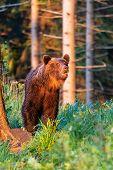 Wild Adult Brown Bear ( Ursus Arctos ) In The Summer Forest. poster