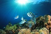 foto of sergeant major  - Tropical Fish on Coral Reef in the Red Sea with Sunburst - JPG