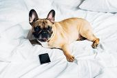 Cute Purebred French Bulldog Lying Near Smartphone With Blank Screen On White Bedding At Home poster
