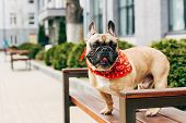 Cute Purebred French Bulldog Wearing Red Scarf And Sitting On Wooden Bench poster