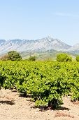 stock photo of mauri  - vineyars in Languedoc - JPG