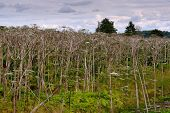 Big Tall, Very Harmful, Fast-growing Weed - Hogweed. The Field Is Completely Overgrown With A Plant poster