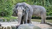 Asian Elephant, Or Indian Elephant (elephas Maximus) The Only Modern Species Of The Genus Asian Elep poster