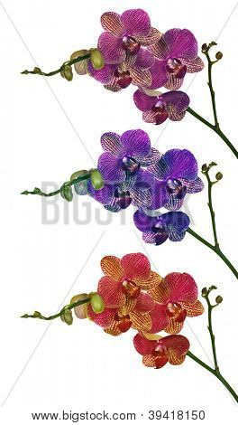 three orchid flower branches isolated on white background