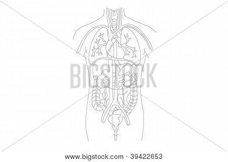 Estrutura de órgãos humana