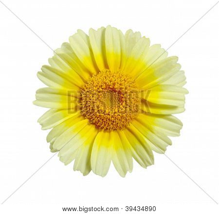 Edible Chrysanthemum