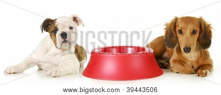 feeding the dog - miniature dachshund and english bulldog puppy laying beside empty food dish waiting to be fed