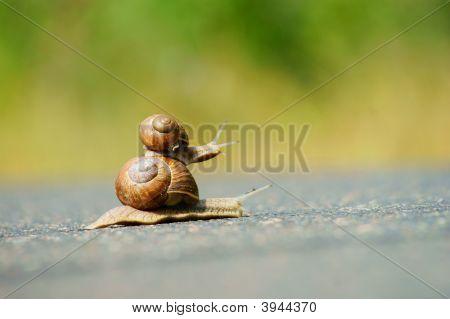 Two Garden Snails Racing
