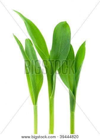 Seedling corn on a white background