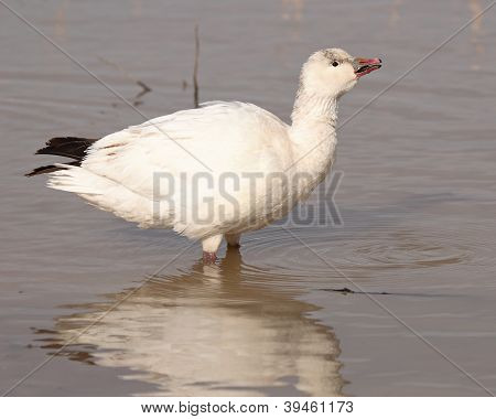 Ross's Goose Calling From Lake