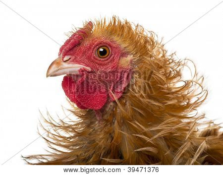 Close-up of Crossbreed rooster, Pekin and Wyandotte, against white background