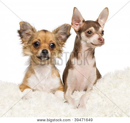 Chihuahua puppies, 4 months old and 5 months old, lying on white fur against white background