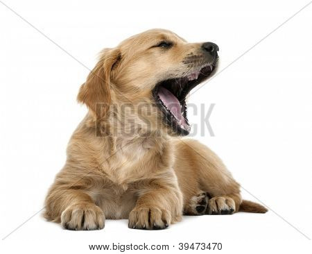 Golden retriever puppy, 7 weeks old, lying and yawning against white background