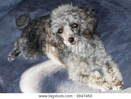 Happy Grey Poodle