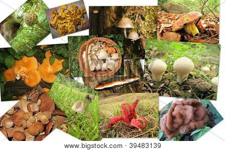 collage mushrooms -  parasol, puffball and other edible or outlandish mushrooms