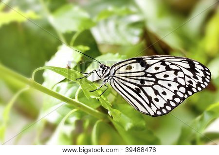 Butterfly Idea Leuconoe Clara