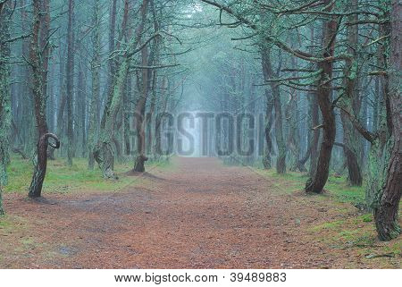 Dancing Trees In National Park Curonian Spit