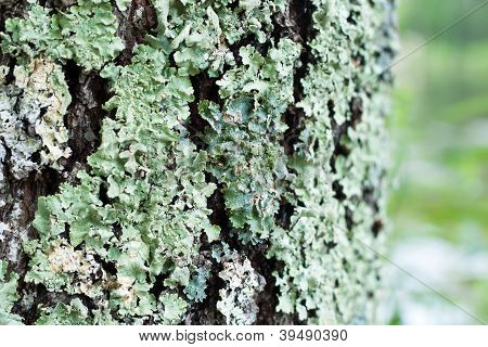 Bark With Lichen Texture
