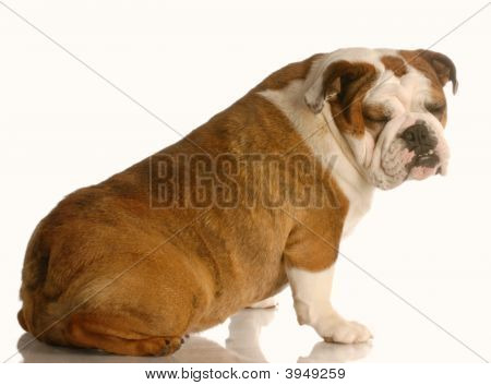 Bulldog Sitting With Funny Expression