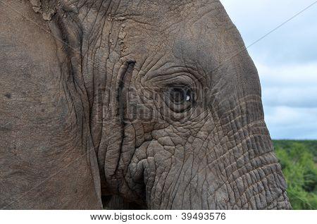 Horny Elephant