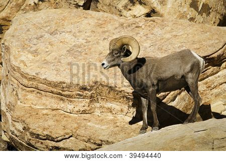 Desert bighorn sheep, Ovis canadensis nelsoni, preparing to jump