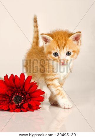 Cudly Kitten Walking Away From Red Flower