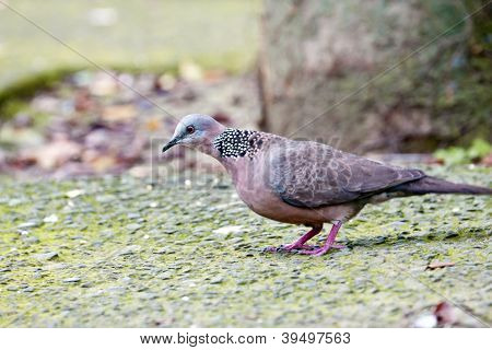 Spooted-necked Dove