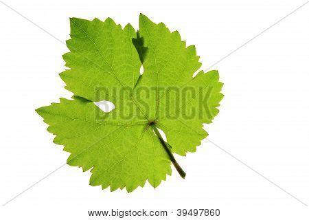 One grape leaf (Vitis vinifera)