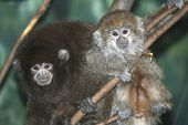 stock photo of titi monkey  - Two adorable Bolivian Grey Titi Monkeys; Mother and child