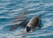 picture of spinner  - Spinner dolphins stenella longirostris surfacing to breathe in a tropical lagoon - JPG