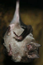 picture of vampire bat  - Close up of a vampire bat in a cave