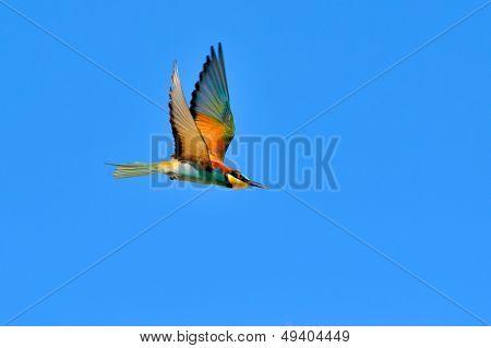 european bee-eater (Merops Apiaster) outdoor