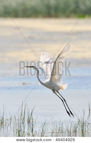egret flying (egretta garzetta)
