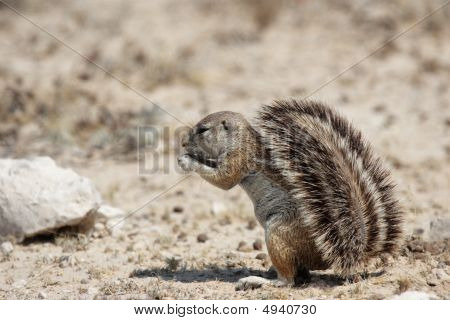 Southern African Ground Squirrel (xerus Inauris)