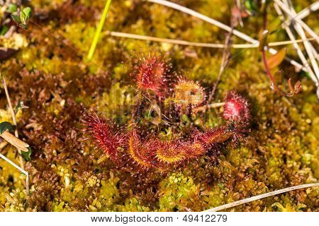 Sundew Flower In The Swamp