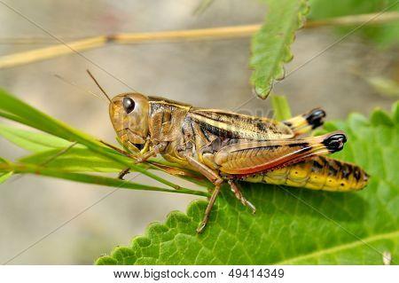 grasshopper (locusta viridissima)