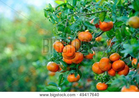 orange trees with fruits on plantation