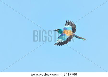european roller (coracias garrulus) in flight