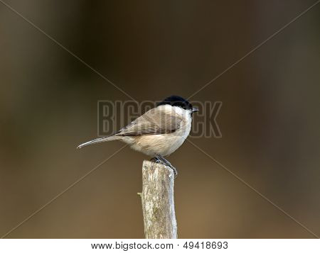 Titmouse (Parus palustris), Sweden