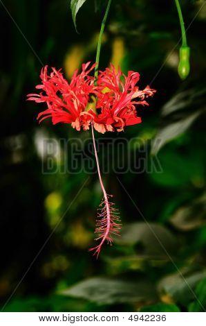 Hibiscus japonés