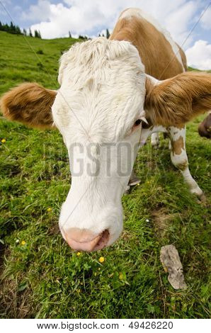 Calf On A Green Meadow