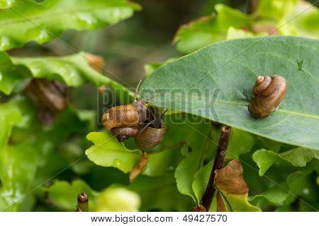 Garden Snails Upside Down Close-up