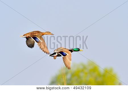 wild ducks flying (anas querquedula)