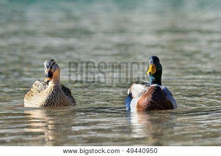 wild mallard ducks on the river (aythya ferina)