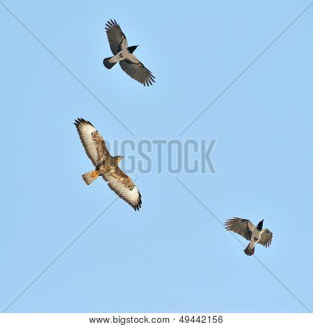 hawk (buteo lagopus) and crows flying