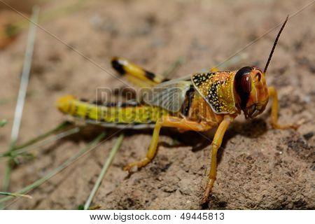 Grasshopper - Grasshopper