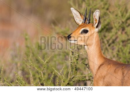 Steenbok Standing In Scrub In Kalahari